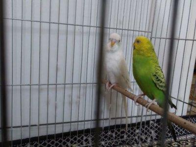 یک جفت مرغ عشق جوان باقفس