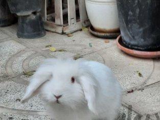 خرگوش لوپ چشم قرمز